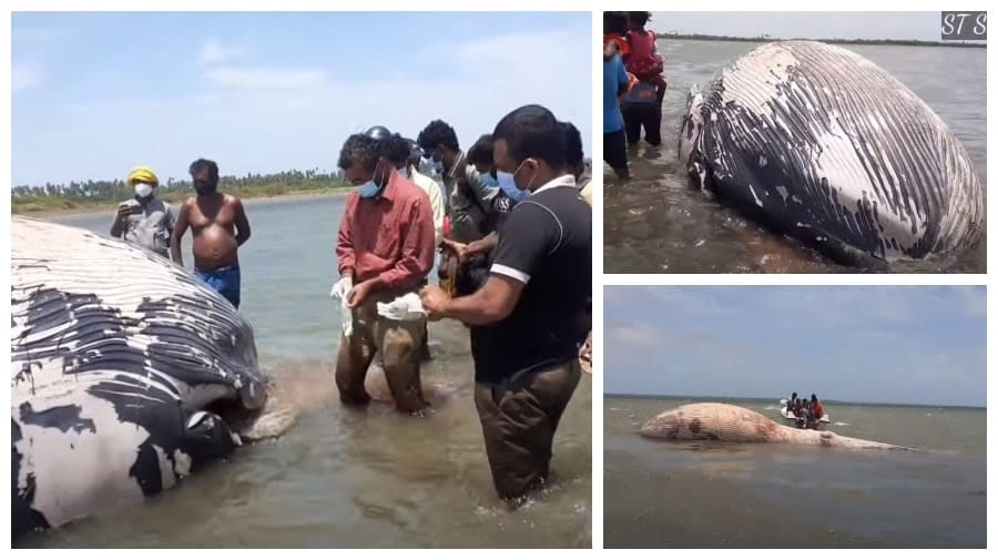 The giant whale that died in Jaffna has swallowed plastic noodles