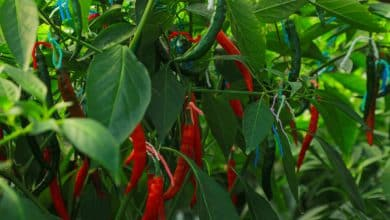 Steps to stop the import of chillies in the next three years